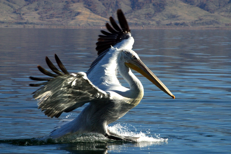 Dalmatian Pelican - Prespes, Greece
